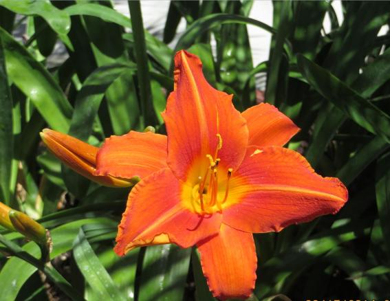 Orange lilies1