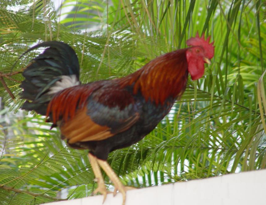 10-kw104-roostersroaming-2