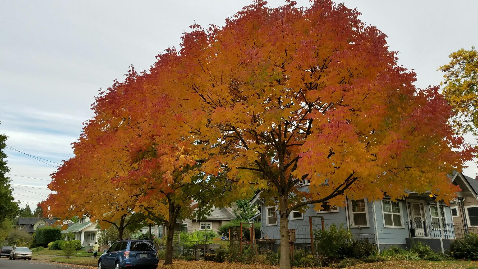 orange-trees