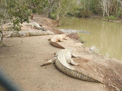 crocodile-farm