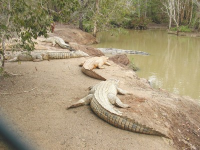 crocodile-farm