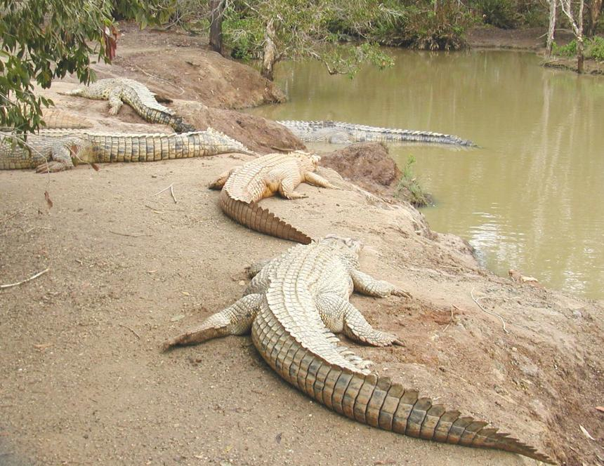 crocodiles1