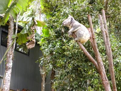 koala-zoo