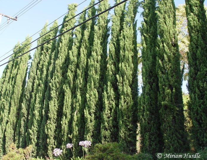 cypress-tree-3