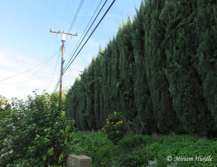 cypress-tree-4