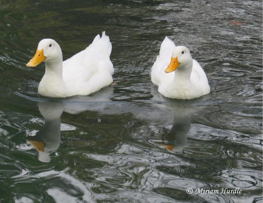 duck-4