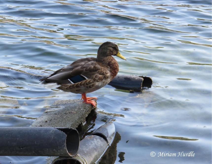 duck-8