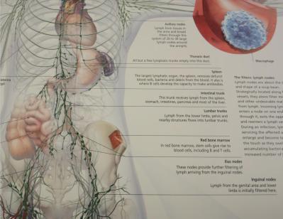 inguinal-nodes