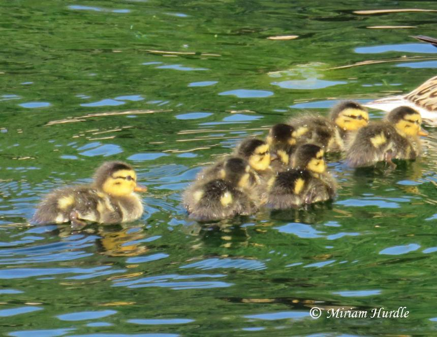 Section duckings 2.