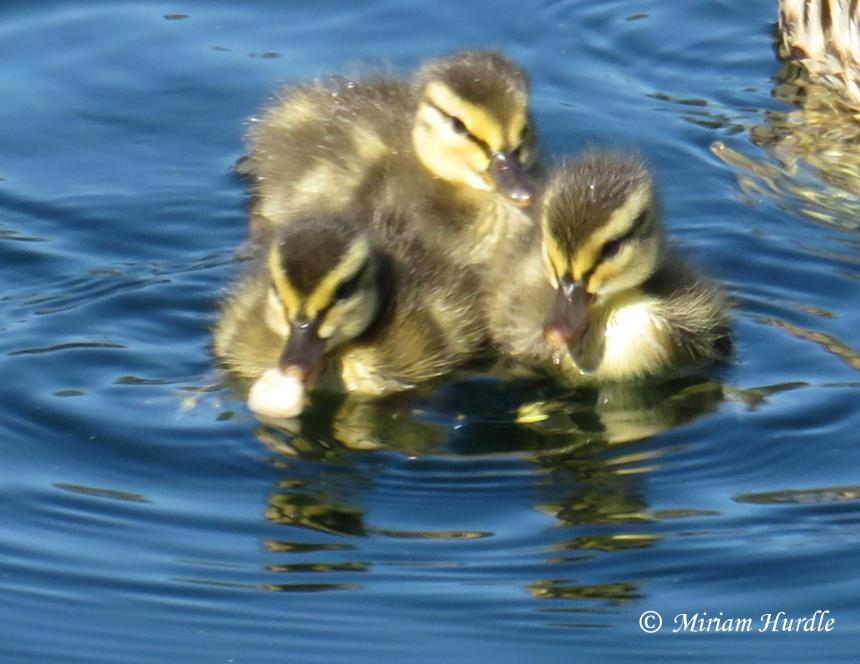 Section duckings 4