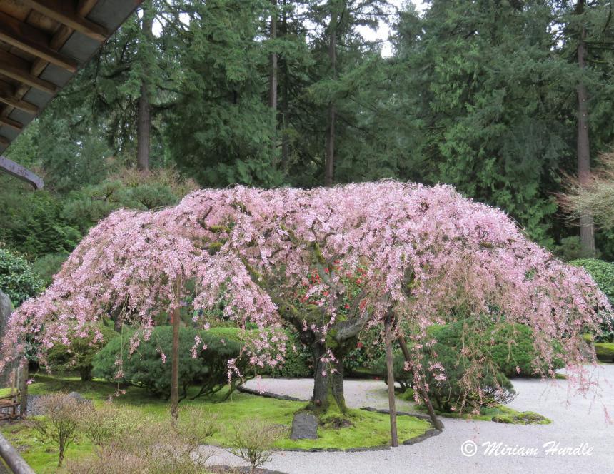 #289 Cherry Blossom 1