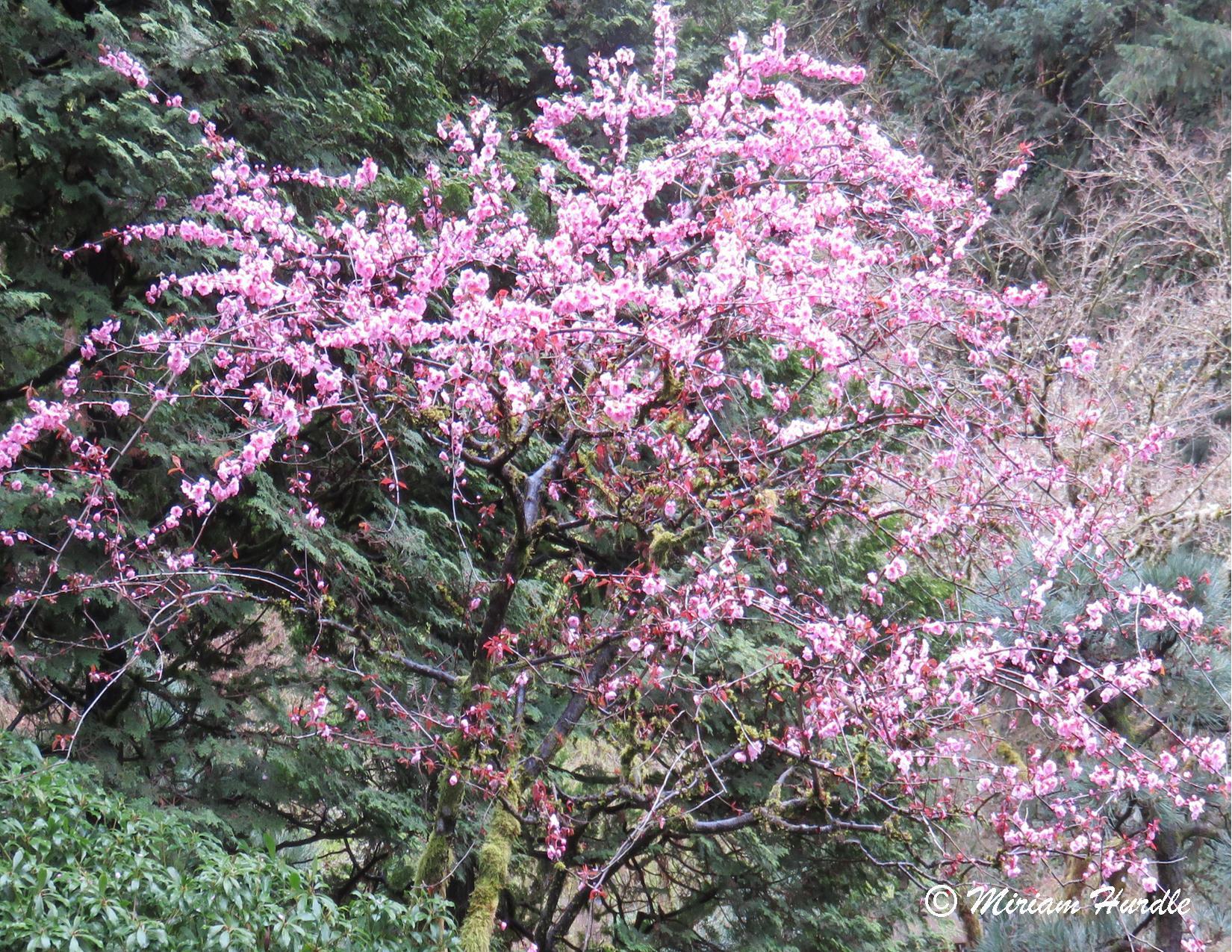 #289 Cherry Blossom 3