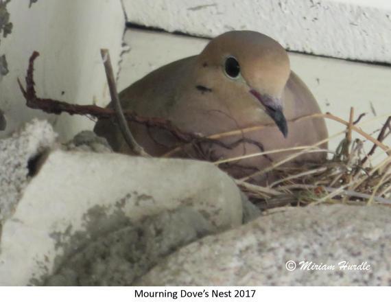 gray jay nest 3