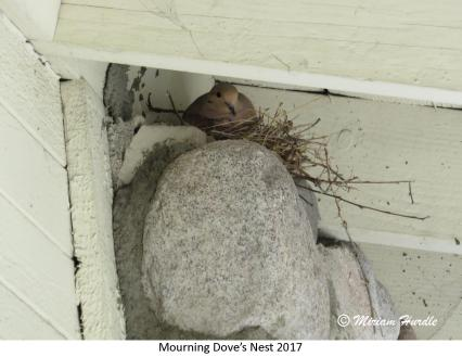 gray jay nest 5