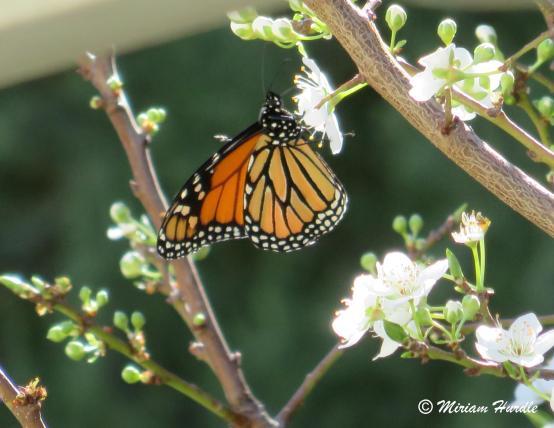 bug 2 Danaus plexippus Monach butterfly