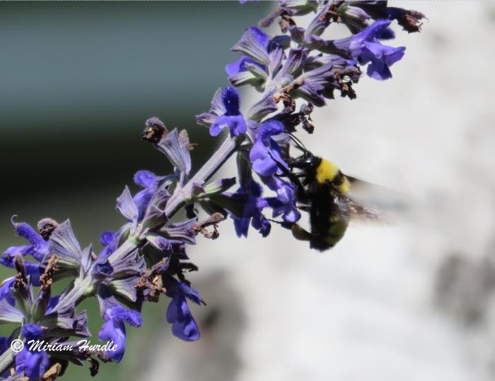 bumble bee 1