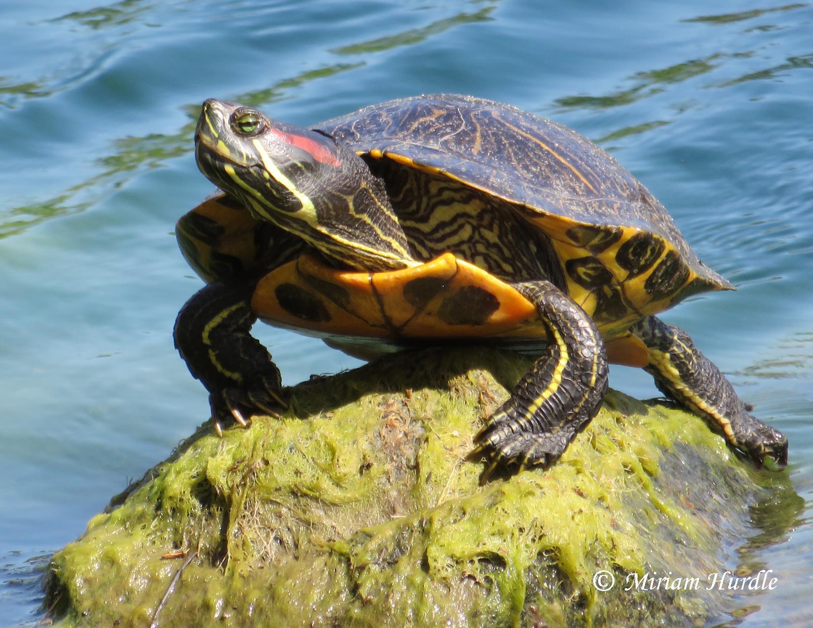 Turtle -champion