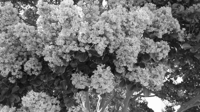 murtle tree