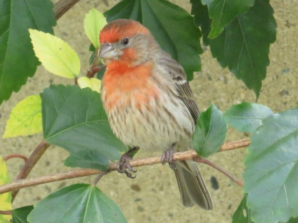 House Finch 2