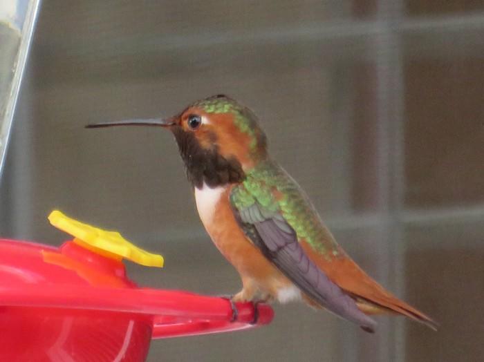 Red Throat Hummingbird