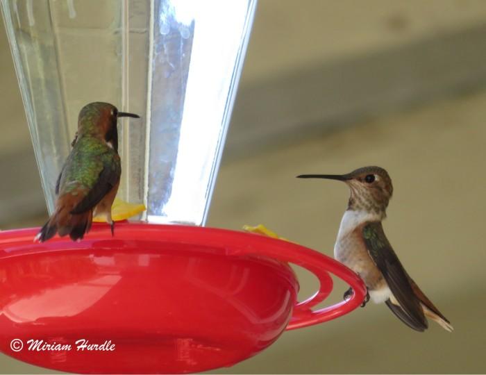 Hummingbird 5