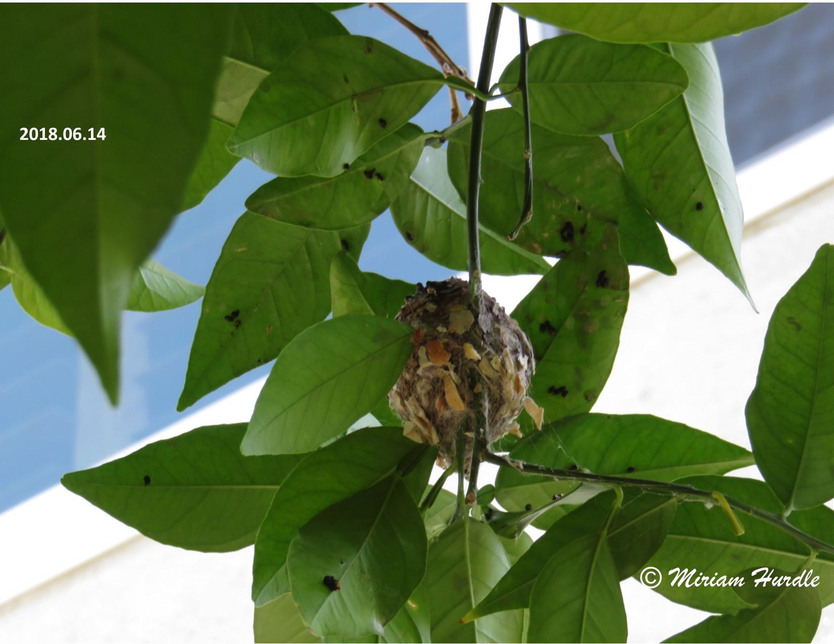 Hummingbird baby 1