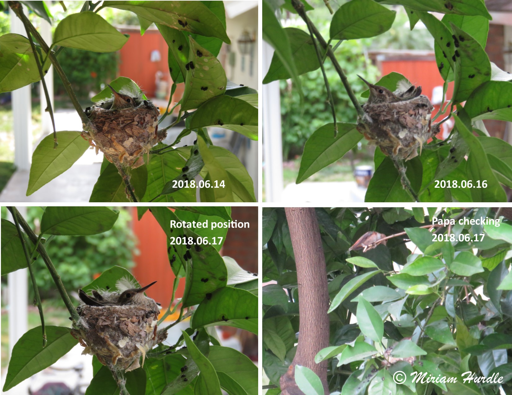 Hummingbird baby 2