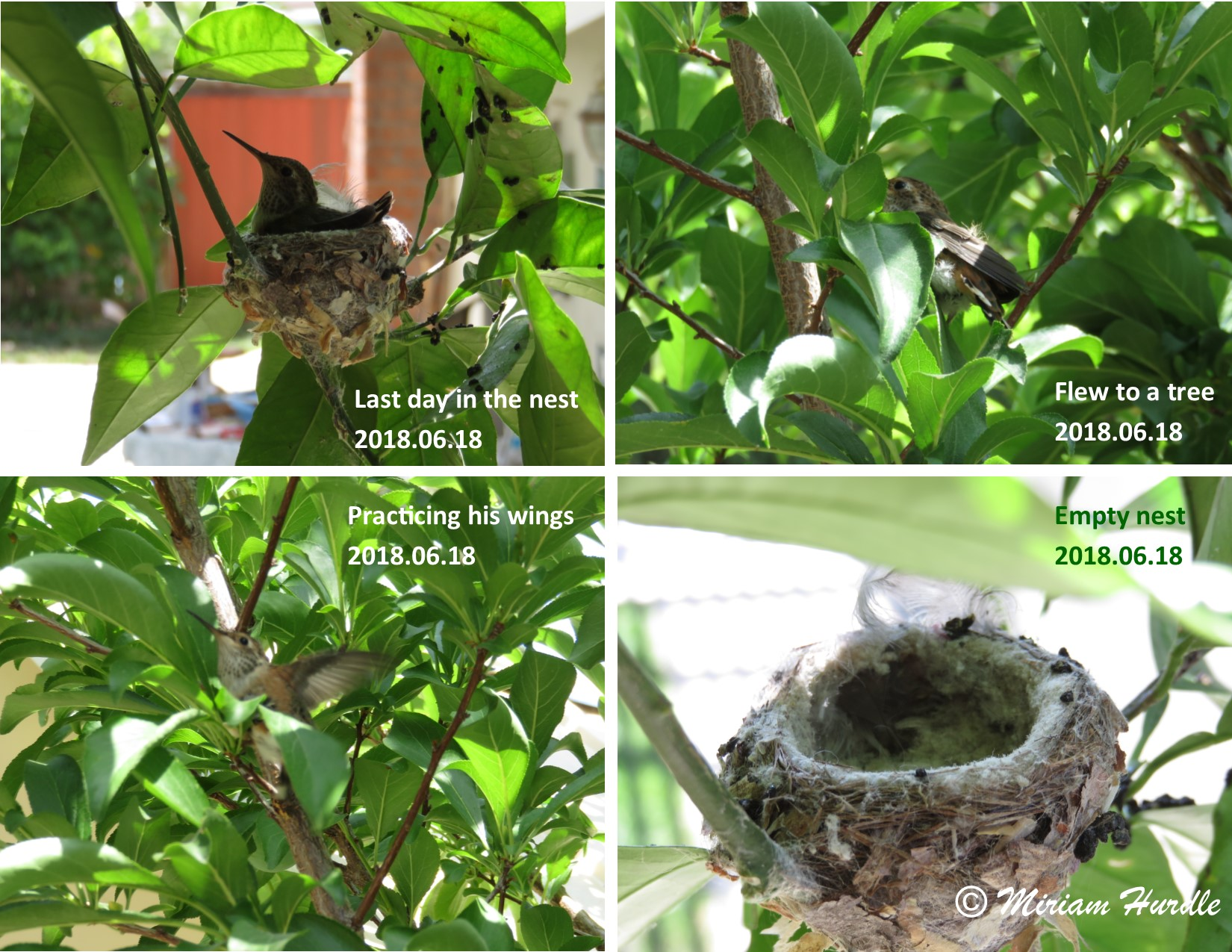 Hummingbird baby 3
