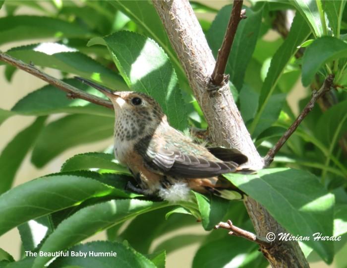 Hummingbird baby 4