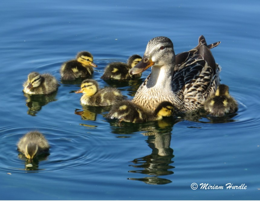 Soft baby ducklings 1