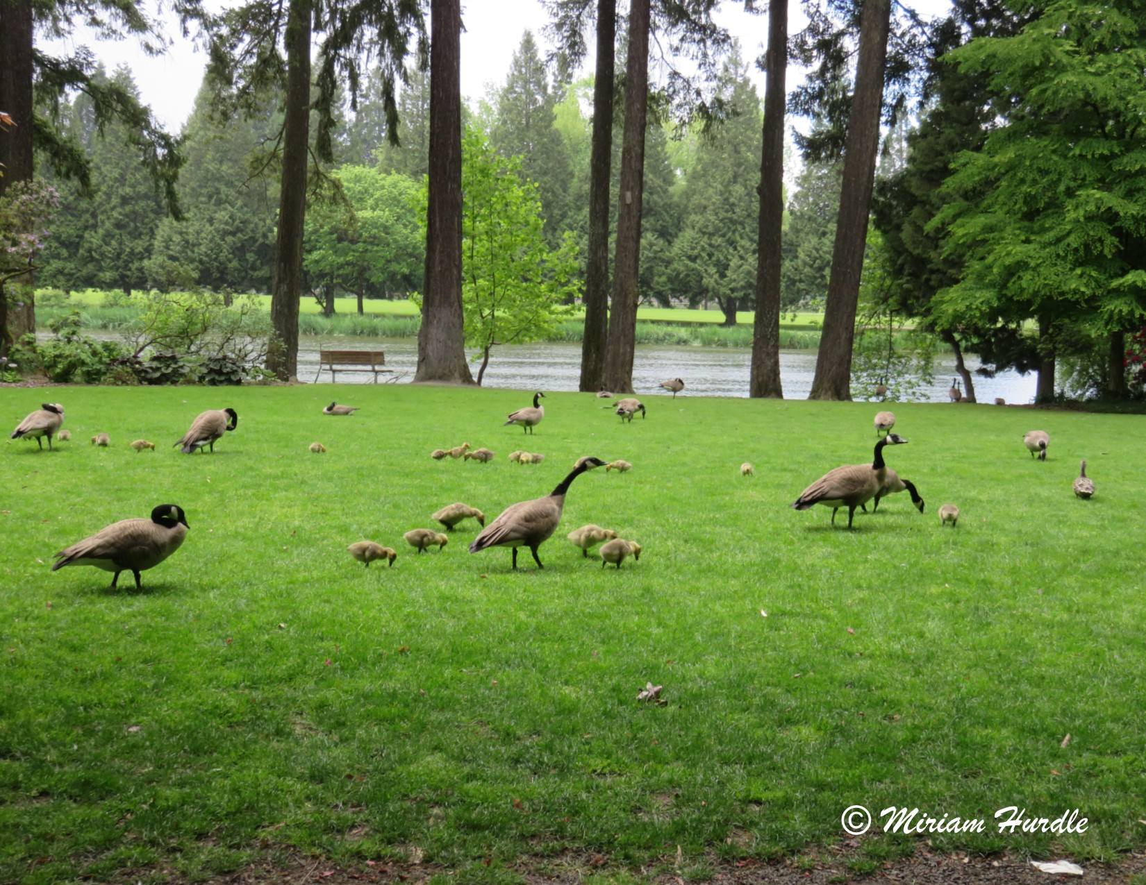 Soft baby goslings 1