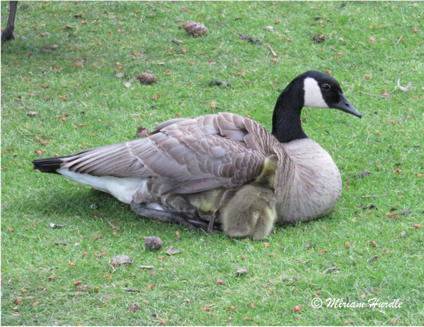 Soft baby goslings 2