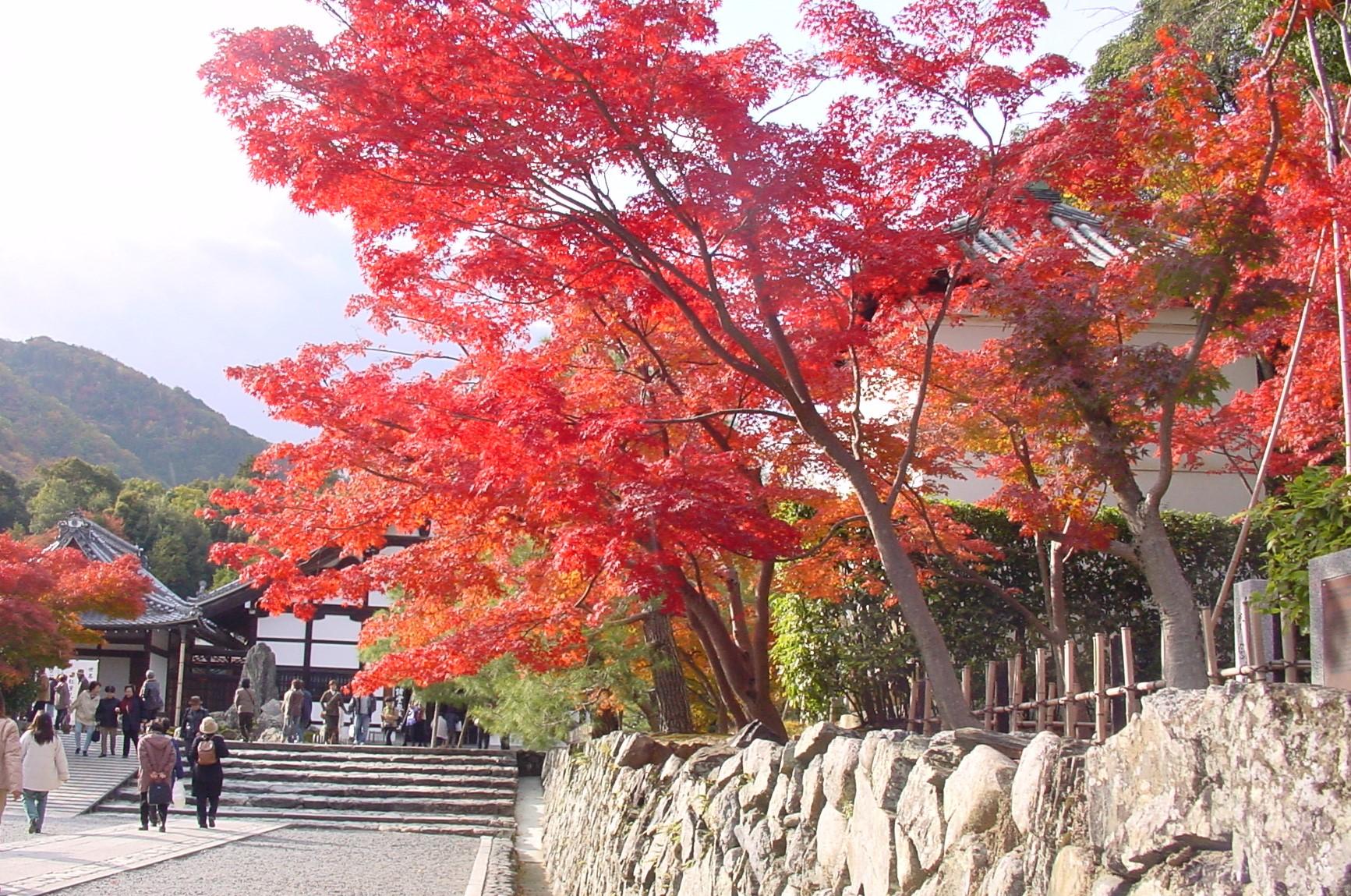 1.1 Cherry Blossom Japan