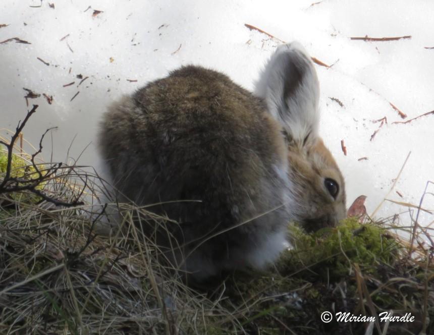 8.Alaska Snowshoe Hare1
