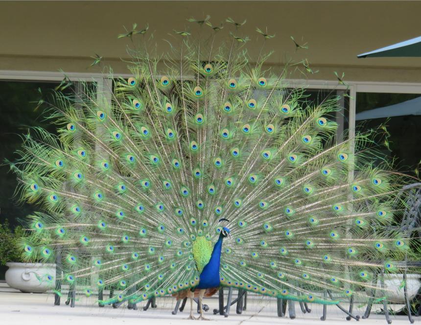 LA arboretum Peacock