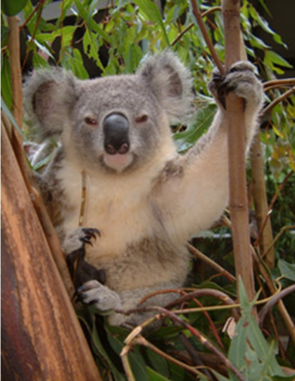 4.Koala bear in Australia