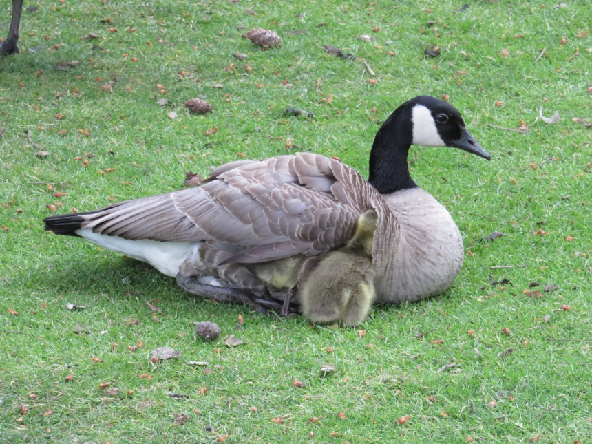 6.IMG_6129 Canada Goose